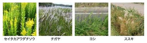 強壮雑草例:セイタカアワダチソウ、チガヤ、ヨシ、ススキ