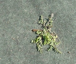 ピン穴雑草